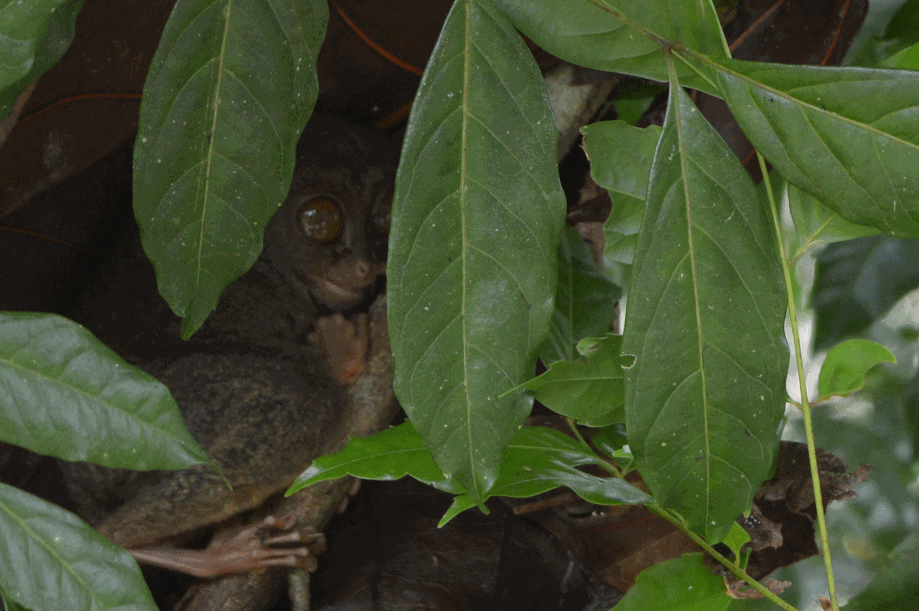 A wide-eyed tarsier