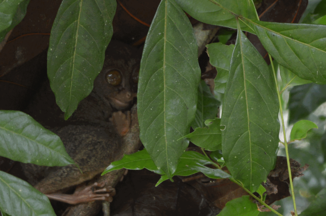 A wide-eyed tarsier
