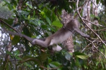A swinging macaque